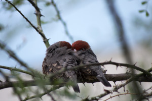 Photo of two red head birds snuggling on a branch